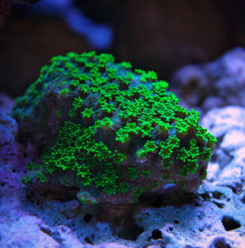 Small Polyp Stony Corals Sps For Saltwater Aquarium